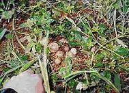 栄養豊富な土で育つアガリクス茸
